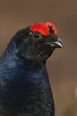 Head details of a Male Black Grouse - Scotland