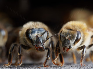 Italian bee (Apis mellifera ligustica) - The guardian bees are 15 to 25 days old. On the flight board  they let the foraging bees as well as all the drones enter the colony  prohibiting access to bees from other hives and guaranteeing the hive's defense against intrusion. In the case of an alert  they recruit others bees as reinforcement. To recognize bees from other hives  they use the olfactory receptors situated in their antennas.