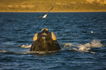 Southern Right Whale head on the surface - Argentina