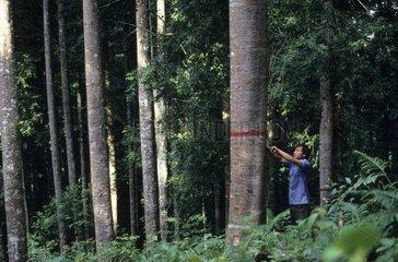 Harvesting of the Agathis resin named Manila Copal in Java