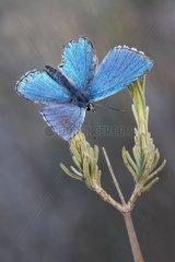 Adonis Blue male - Serra da Encina da Lastra Spain