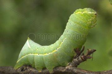 Caterpillar of moth Bourgogne France
