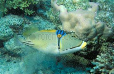 Baliste Picasso nageant sur récif corallien Egypte