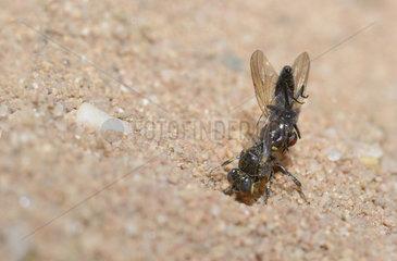 Digger wasp (Oxybelus bipunctatus) female bringing a fly in her gallery  Parc naturel regional des Vosges du Nord  France