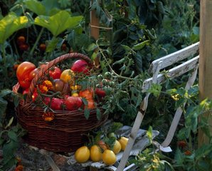 Harvest of tomatoes in a basket at the kitchen garden