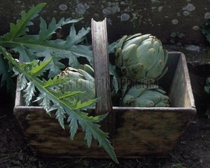 Harvest of artichokes in a basket