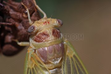 Young imago of a common Cicada new born France