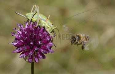 Swiss Saddle Bush-cricket (Ephippiger persicarius) female and Honey bee (Apis mellifera) fighting for a wild garlic (Allium sp) flower  Serre-Chevalier  Alpes  France