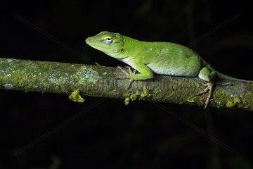 Neotropical Green Anole (Anolis biporcatus) on a branch  Chocó colombiano  Ecuador
