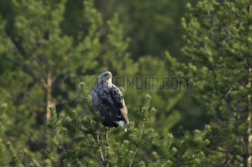 White-tailed Eagle on a Pine tree - Finland