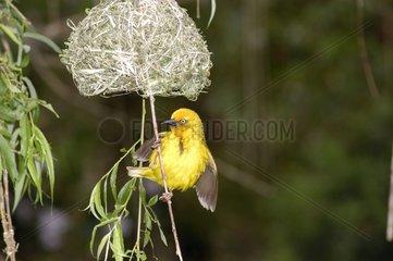 Tisserin du Cap mâle posé sous son nid