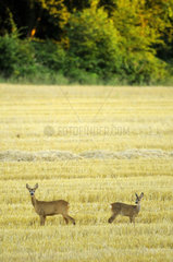 Chevreuil (Capreolus capreolus) with her fawn in field harvested at the end of the day  Hautevesnes  Aisne  Picardy  France