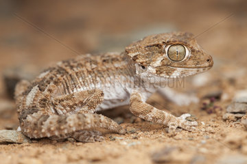 Helmeted Gecko (Tarentola chazaliae)  South west Morocco