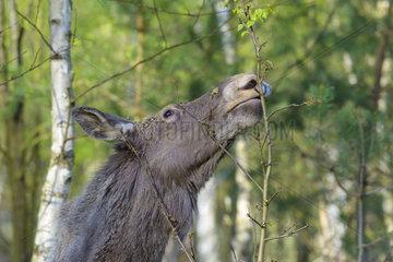 European Moose feeding  Alces alces  Germany  Europe