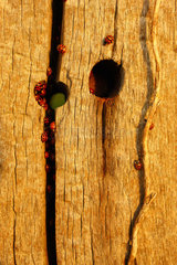 Asian ladybeetle (Harmonia axyridis) hiding in a crack to hibernate on a wooden pole in autumn  in October  Picardy  France.