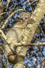 White-footed sportive lemur (Lepilemur leucopus) on its daytime resting spot  Reniala Reserve  Ifaty  Madagascar