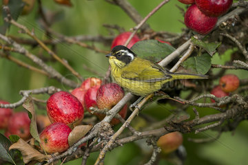Sooty-capped Chlorospingus (Chlorospingus pileatus)  on apple orchard  Talamanca Mountains  Costa Rica