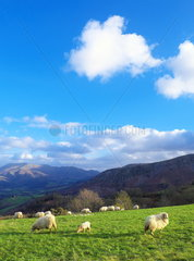 Ewes in grazing zone  Typical Pyrenean landscape of the French Basque Country in the surroundings of Ixtassou  Pyrenees Atlantiques  France