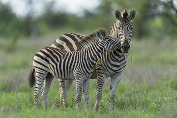 Burchell's Zebra (Equus burchellii) young making a hug  Kruger  South Africa