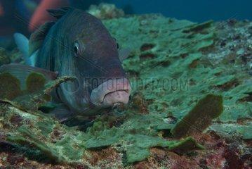 Blue-and-yellow grouper (Epinephelus flavocaeruleus) on reef  Flic-en-flac  Maurice island  Indian Ocean