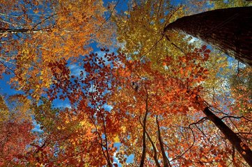 Northern red oak (Quercus rubra) forest in autumn  Pyrenees  France