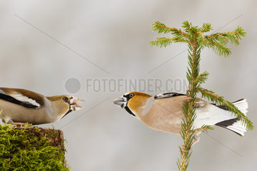 Male and Female Hawfinch (Coccothraustes coccothraustes) fight on a tree stump and on a shrub in winter  Alsace  France