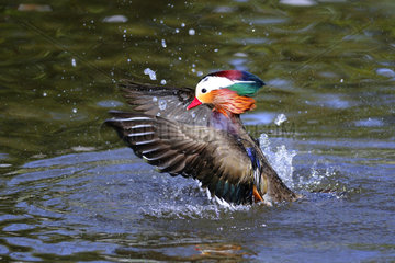 Male mandarin duck snorting in water - France