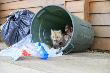 Young Red fox rummaging through a waste bin - Minnesota USA