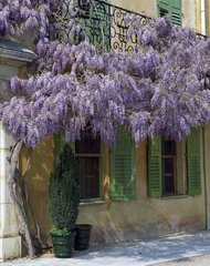 Wisteria in bloom hung from a balcony