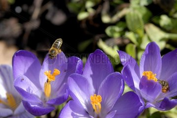 Bees gathering nectar of the Crocuses in Spring France