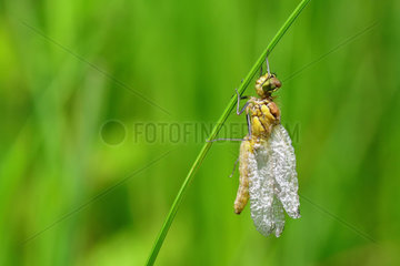 Dragonfly distorted due to an emergence problem. Prairies of the Fouzon. Loir and Cher. la France