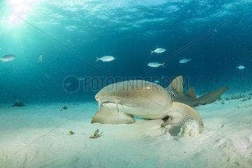 Nurse shark (Ginglymostoma cirratum)  swimming over a sandy seabed  South Bimini  Bahamas. The Bahamas National Shark Sanctuary  West Atlantic Ocean.