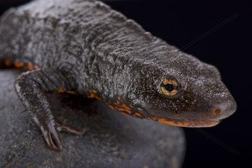 Portrait of Tam Dao salamander (Paramesotriton deloustali) on black background
