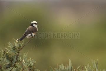 White-rumped shrike (Eurocephalus rueppelli)  Samburu  Kenya