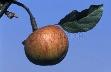 Pomme 'Reinette de Savoie' France