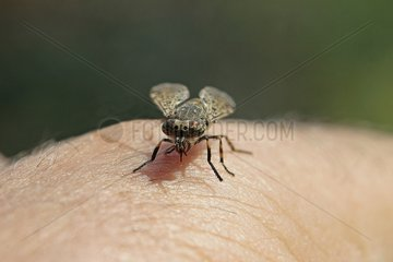 Horsefly pricking the skin of a human arm