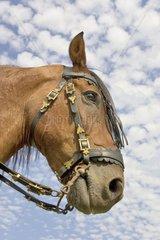Portrait of Horse Lusitanian France