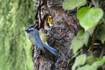 Blue Tit (Cyanistes caeruleus)  Set with larva in the beak to the nest in spring  Country garden  Lorraine  France