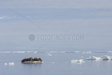 Pacific Walrus (Odobenus rosmarus divergens) on ice  krasin bay  Wrangel Island  Chukotka  Russia