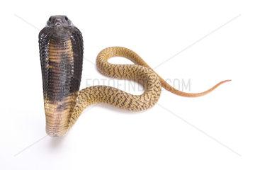 Egyptian cobra (Naja haje) young on white background
