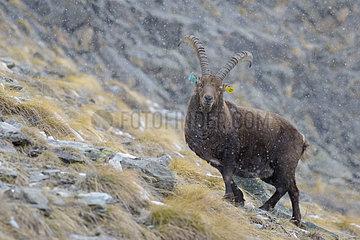 Alpine Ibex (Capra ibex)  Male with Earmarks  Gran Paradiso National Park  Alps  Italy  Europe