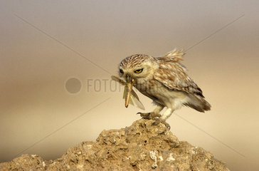 Little owl eating an insect on ground - Qatar
