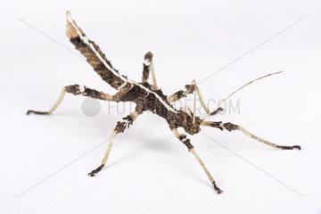 Sunny stick insect (Sungaya inexpectata) Philippines