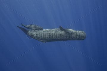 Sperm whale breast-feeds her newborn - Indian Ocean