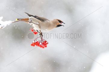 Bohemian Waxwing eating berries in winter - Finland