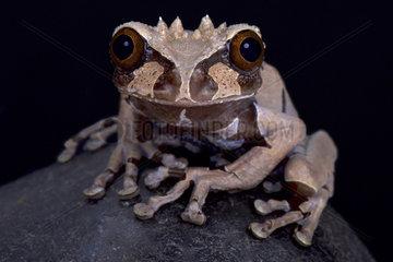 Spiny-headed tree frog (Anotheca spinosa)  Costa Rica