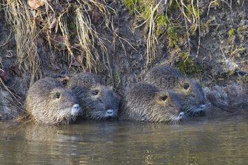 Coypu  Myocastor coypus  Young animals  Hesse  Germany  Europe