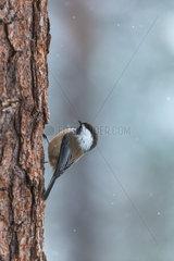 Siberian Tit on a trunk in winter - Finland
