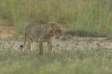 Lion (Panthera leo) Lion walking in rain  Kgalagadi  South Africa
