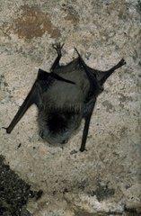 Minioptère aggripé à la paroi rocheuse Grotte de Moulis